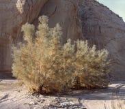 在加利福尼亚沙漠峡谷的黄栌 免版税库存图片