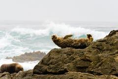 在加利福尼亚海岸的封印 免版税库存图片