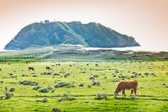 在加利福尼亚海岸线的母牛 免版税库存图片