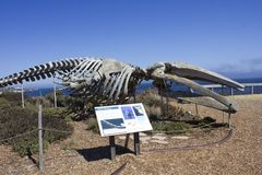 在加利福尼亚海岸线的灰鲸科骨骼 库存照片