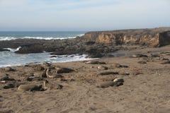 在加利福尼亚海滩的海象 库存照片