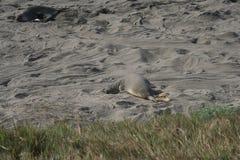 在加利福尼亚海滩的海象 免版税库存照片