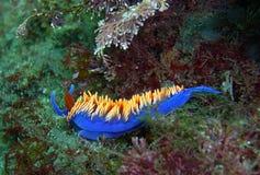 在加利福尼亚礁石的西班牙披肩Nudibranch 免版税库存照片