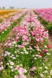 在加利福尼亚种田许多可爱的开花的花田 免版税图库摄影