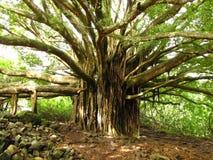 在加利福尼亚远足的美丽的树 库存照片
