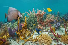 在加勒比海的礁石的五颜六色的海洋生物 库存照片