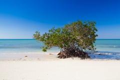 在加勒比海滨, Cayo Jutias海滩,古巴的美洲红树 免版税图库摄影