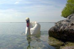 在加尔达湖的天鹅 库存图片