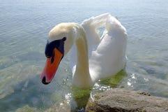在加尔达湖的天鹅 库存照片