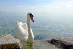 在加尔达湖的天鹅 免版税库存照片