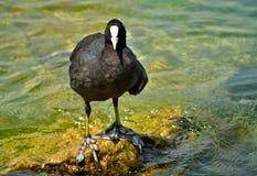 在加尔达湖的老傻瓜鸟 图库摄影