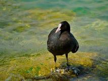 在加尔达湖的老傻瓜鸟 库存照片