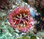 在加州礁石的白被察觉的罗斯银莲花属 库存照片