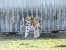 在加拿大动物园走的老虎 图库摄影
