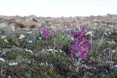 在加拿大北极寒带草原的羊毛制lousewort Pedicularis lanata 免版税库存照片