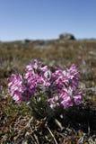 在加拿大北极寒带草原的羊毛制lousewort Pedicularis lanata 免版税图库摄影