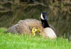 在加拿大鹅的保护下婴孩幼鹅 免版税库存照片