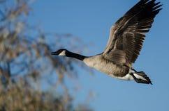 在加拿大鹅飞行的仔细的审视通过秋天树 免版税库存照片
