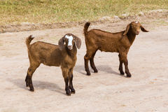 在动物农场的两只小幼小棕色山羊在清迈, Thaila 库存图片