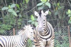 在动物园万隆印度尼西亚的斑马 免版税库存照片