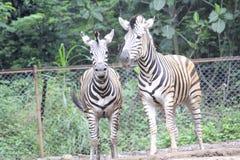 在动物园万隆印度尼西亚2的斑马 免版税库存照片