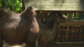 在动物园吃的骆驼 影视素材
