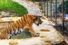 在动物园大声水池咆哮声的大老虎 库存照片