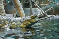 在动物园布拉格的绿色鳄鱼 免版税图库摄影