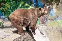 在动物园布拉索夫的棕熊 免版税库存照片
