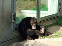 在动物园庭院的囚禁的一只哀伤的猴子 库存照片