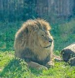 在动物园庭院的布朗狮子,绿草,太阳发出光线,坐,接近  库存图片