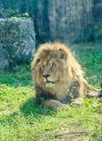 在动物园庭院的布朗狮子,绿草,太阳发出光线,坐 免版税图库摄影