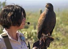在动物园教员的手套的哈里斯的鹰 免版税库存图片