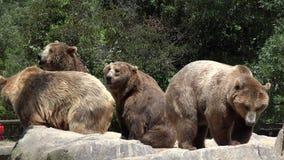 在动物园棕熊 股票视频