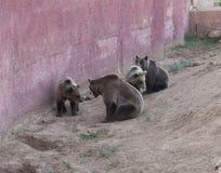 在动物园照片的熊 免版税库存照片