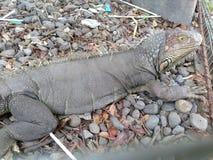 在动物园独奏sondokoro的tasikmadu的鬣鳞蜥 免版税库存照片