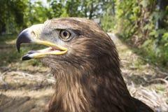 在动物园生动描述老鹰 免版税库存照片