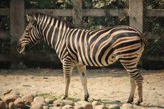 在动物园的一匹斑马 库存图片