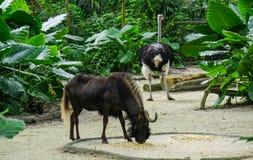 在动物园的一只山羊 免版税库存图片