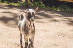 在动物园的一只山羊 免版税库存照片