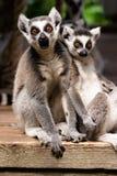 在动物园的一只环纹尾的狐猴 库存图片