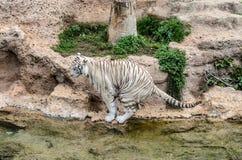 在动物园的一只白色白变种老虎在Loro公园,普埃尔托德拉克鲁斯 免版税库存图片