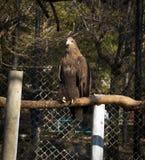 在动物园的一只老鹰 免版税库存图片