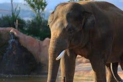 在动物园的一头亚洲大象 库存照片