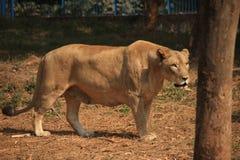 在动物园的一头狮子 库存照片