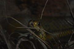 在动物园的一条吃鼠的蛇, Dehiwala 科伦坡lanka sri 免版税库存照片