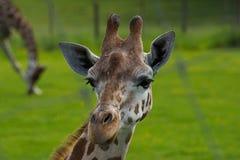 在动物园的一头长颈鹿 免版税库存图片