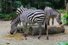在动物园的三匹斑马 免版税图库摄影