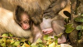 在动物园的两只日本短尾猿 免版税库存图片