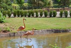 在动物园的两群桃红色火鸟 免版税库存图片
